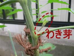 ミニトマトのわき芽01