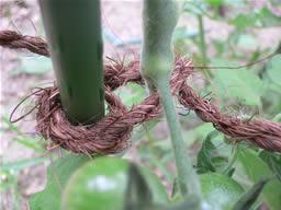 支柱に誘引したミニトマト01