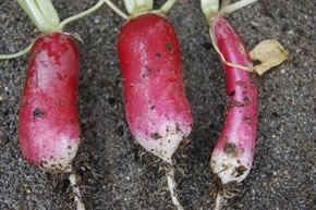 収穫したラディッシュ(紅白)