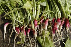 間引きしていない条から収穫したラディッシュ(紅白)