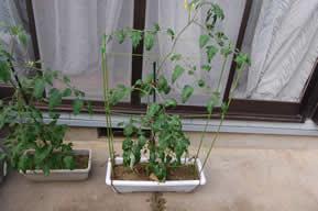 ミニトマトが支柱よりもかなり長い