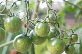 新たに大きくなっているミニトマト