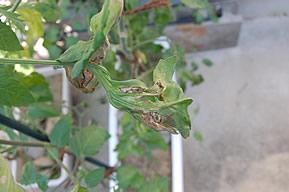 さらに変形したミニトマトの葉