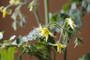 レジナの花