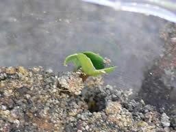 ラディッシュの発芽