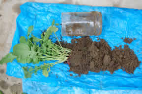 容器から土ごと出されたラディッシュ
