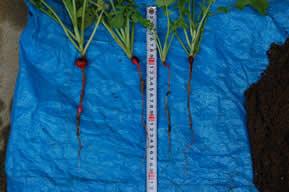 カブの大きさに関わらず根の長さは約15センチ